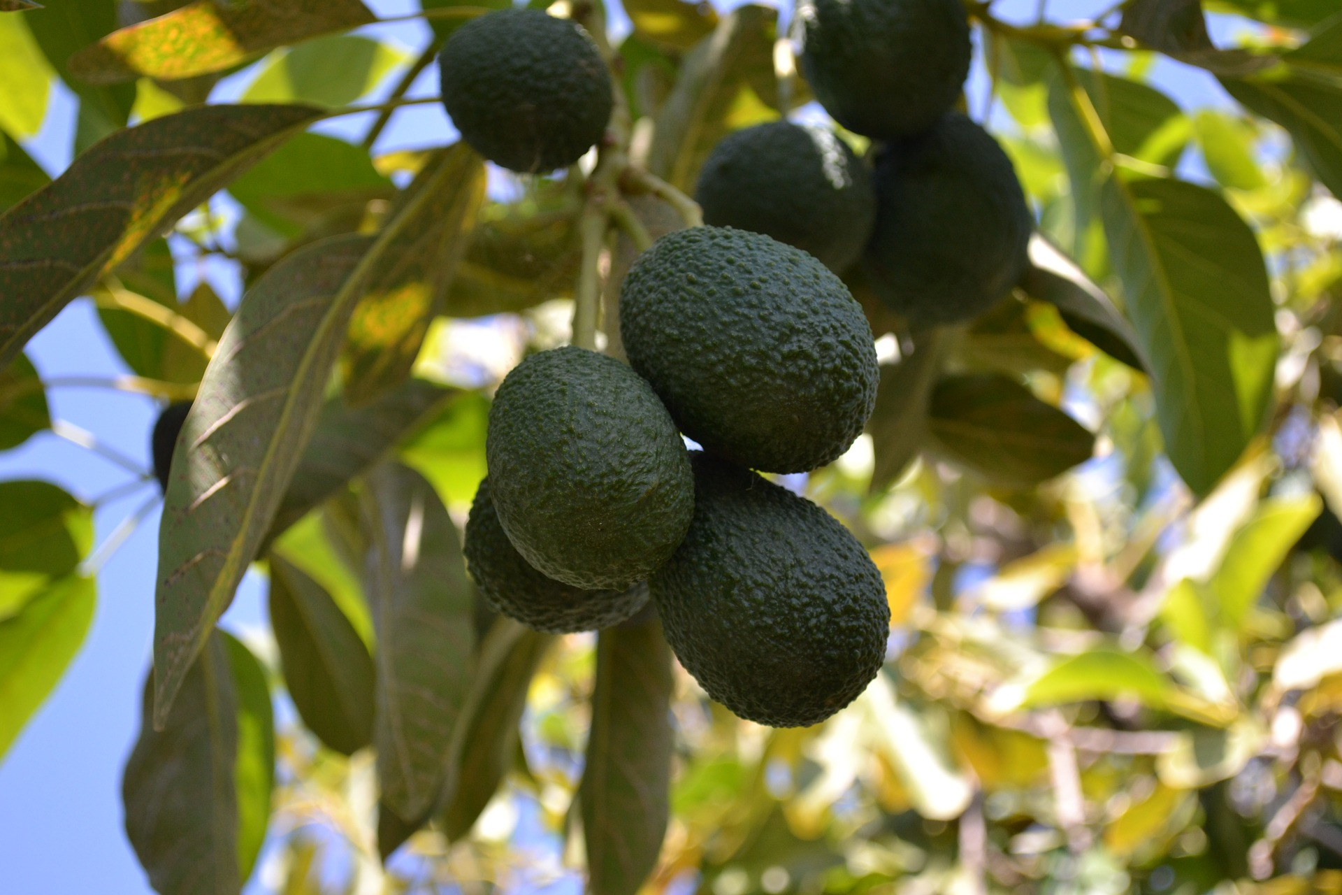 AVOCADO: HEALTHY BUT NOT LACTOGENIC