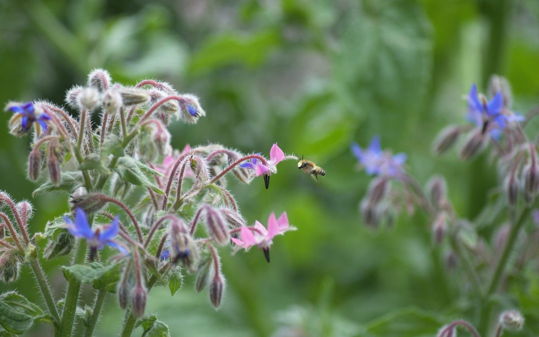 borage flowers and bees